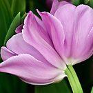 Tulip Duo by Alison Cornford-Matheson