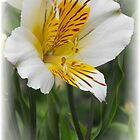 Lily by ElsT