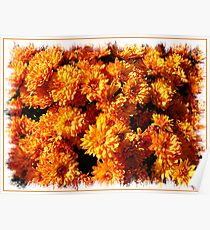 Fall Autumn Colors - Orange Chrysanthemums - Flowers in Sunlight Poster