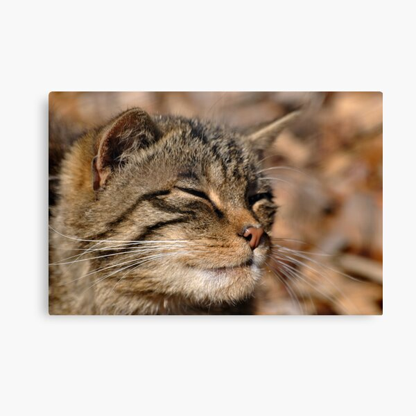 The Highland Tiger (Scottish Wildcat) Canvas Print