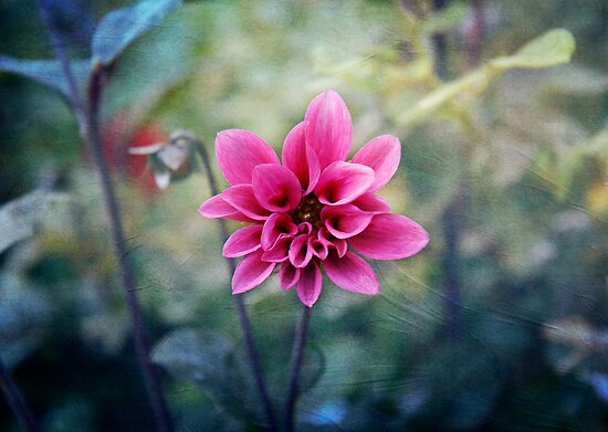 Dahlia by Lynn Starner