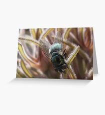 Blue Bottle Fly (Calliphora vomitoria) Pollinating Pseudolithos cubiformis Greeting Card