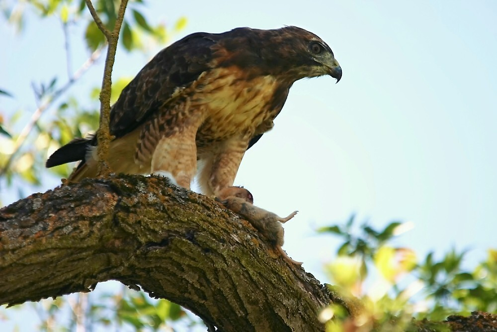 Hawk and Prey by Xcarguy