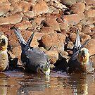 cockatiels drinking by birdpics