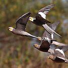 cockatiels in flight by birdpics