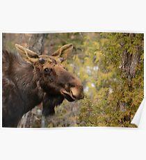 Spring Bull Moose Poster