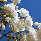 White blossom by Catherine Davis