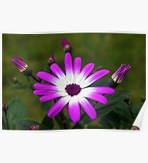 Purple and White Daisy Poster