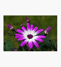 Purple and White Daisy Photographic Print