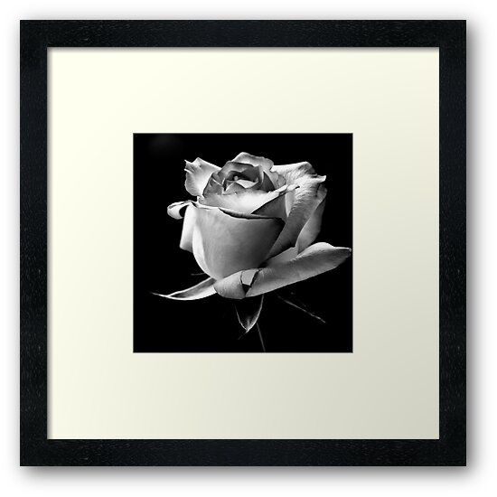 Rose by Stephen Knowles