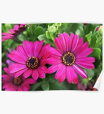 Twin Pink Daisies Poster
