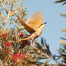 Spread your wings - South Australia honeyeater by Jenny Dean