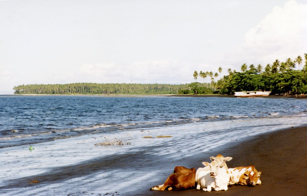 Cows on the Beach, Halmahera, Moluccas, Indonesia by Jane McDougall