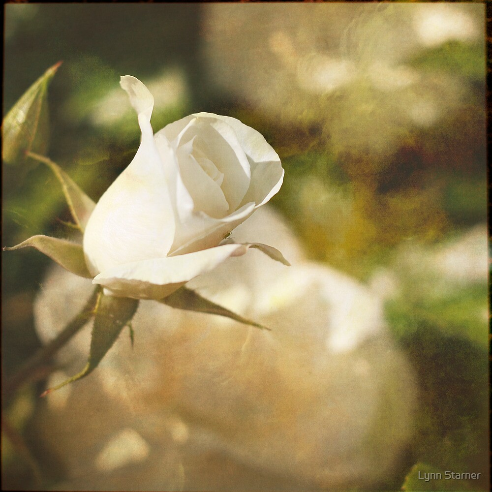 Another White Rose by Lynn Starner