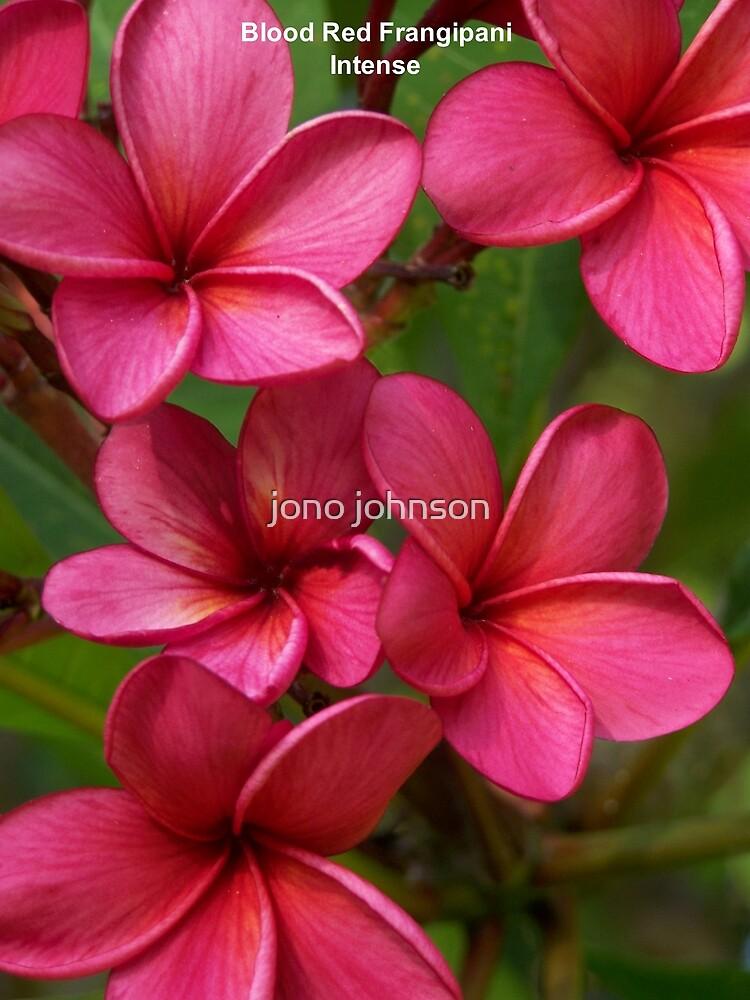 Blood Red Frangipani - Intense by jono johnson