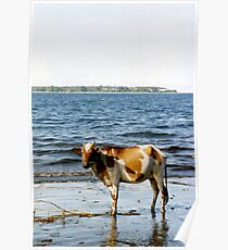 Cow on the Beach, Halmahera, Moluccas, Indonesia Poster
