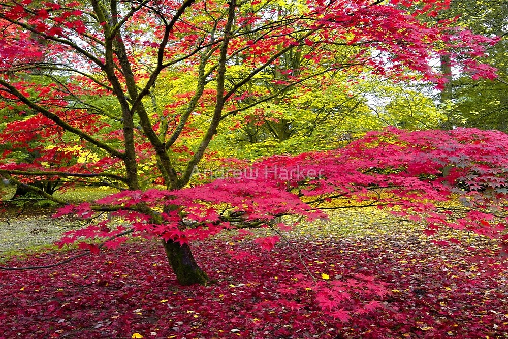 Japanese maple (Acer palmatum)  by Andrew Harker
