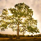 Tree, Tatton Park, Cheshire.  by PhillipJones