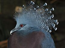 Victoria Crowned Pigeon by Dorothy Thomson