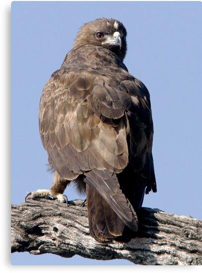Juvenile Bataleur Eagle by Michael  Moss