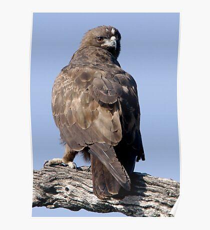 Juvenile Bataleur Eagle Poster