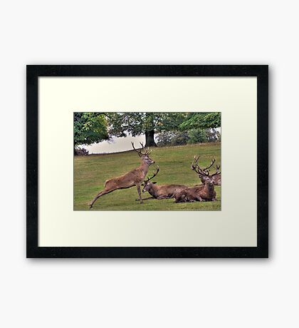Stags Wollaton Park Framed Print