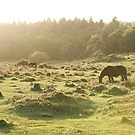 Horse grazing in New Forest by david marshall
