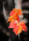 Maple leaves  by Yelena Rozov