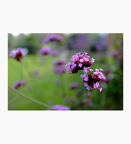 Purpletop Verbena Photographic Print