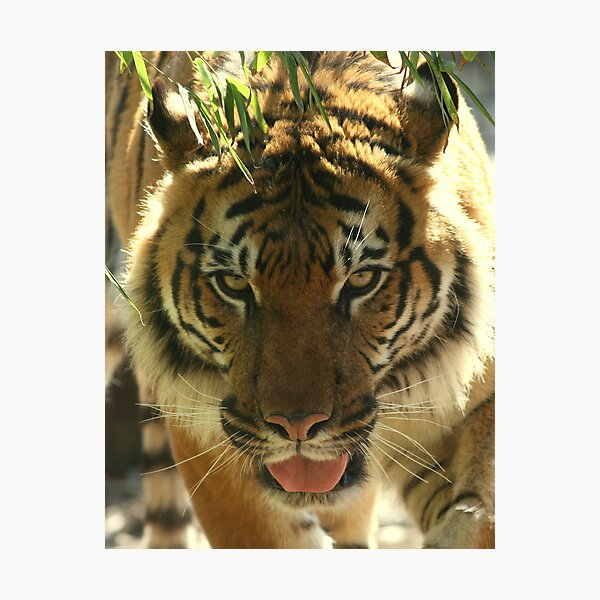 Tuan the Magnificent Photographic Print