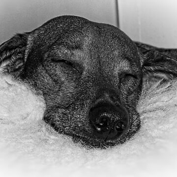 Closeup of Dachshund Sleeping Serenely, Black and White by PhotosByTrish