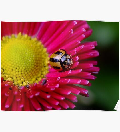 Striped Ladybird Beetle - Micraspis frenata Poster