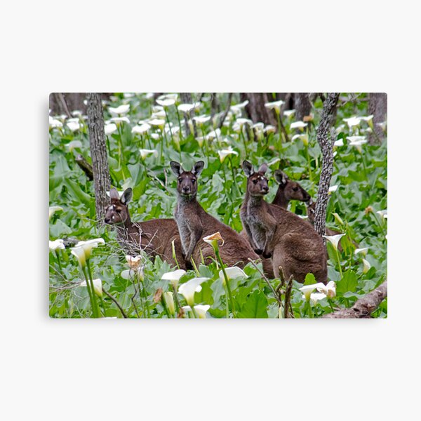 Kangaroos in the Tuart Forest Canvas Print