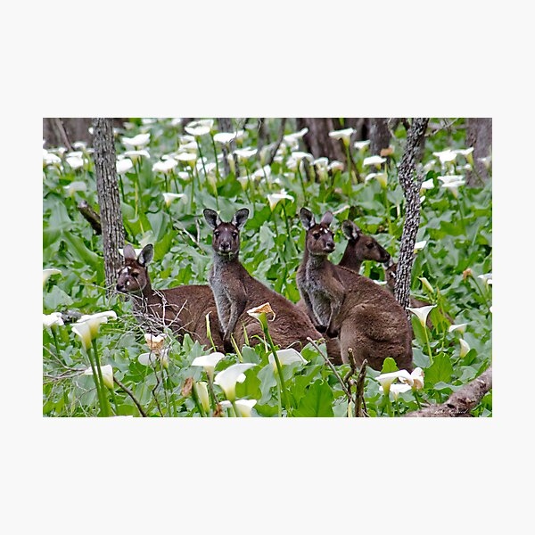 Kangaroos in the Tuart Forest Photographic Print