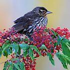 Some blackbirds are beautiful by osprey-Ian