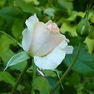 The Pale Rose Of Cap Ferrat by Fara