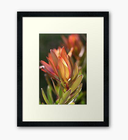 flowers-protea Framed Print