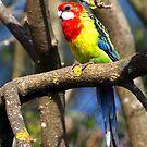 Eastern Rosella Parrot - Drouin  by Bev Pascoe