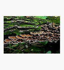 Shelf Fungus Photographic Print