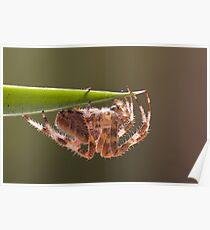 Araneus diadematus Poster