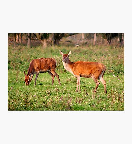 Two Old Ladies - Red Deer Photographic Print