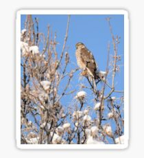 Winter Sharp-shinned Hawk Sticker