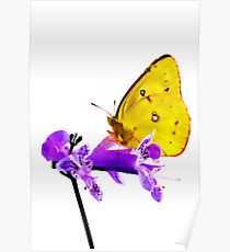 Orange Sulphur butterfly (Colias eurytheme) Poster