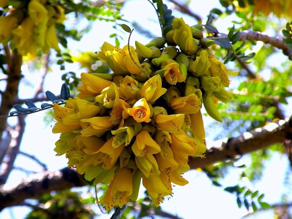 """Color de inicio de Primavera es Amarillo........Su nombre:""""Kowhai"""" by cieloverde"""