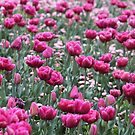 Field of pink - Floriade 2011 by Kelly Robinson