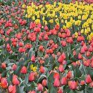 Spring has Sprung - Floriade 2011 by Kelly Robinson