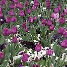 Paisley Purple - Floriade 2011 by Kelly Robinson