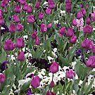 Paisley Purple - Floriade 2011 by Kelly Robinson