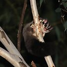 Squirrel Glider ~ Petaurus norfolcensis by ChrisCoombes