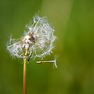 Dandelion by Nick Jermy